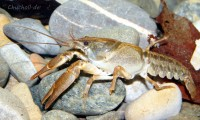 The southern form of White-clawed crayfish, <em>Austropotamobius italicus</em>.