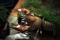 Signal crayfish (<em>Pacifastacus leniusculus</em>) were the winners of a swedish casting for the best replacement of Nobe crayfish. Today, it is one of the worst invasive crayfish species in Europe