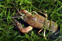 Noble crayfish, <em>Astacus astacus</em>, are the largest crayfish species native to Central Europe. The species was once widespread and abundant in lowland streams and lakes but has been severely impacted by crayfish plague and alien crayfish. Today, the species is virtually extinct in its natural prime habitat, that is summer-warm low-elevation streams.