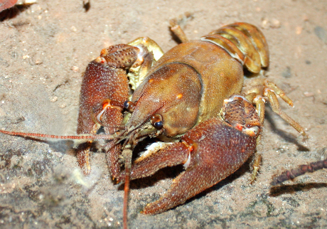 White-clawed crayfish male